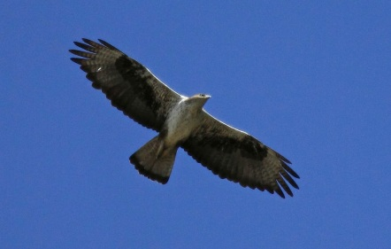 Perdicera en vuelo. Tomada de illoranatural.blogspot.com